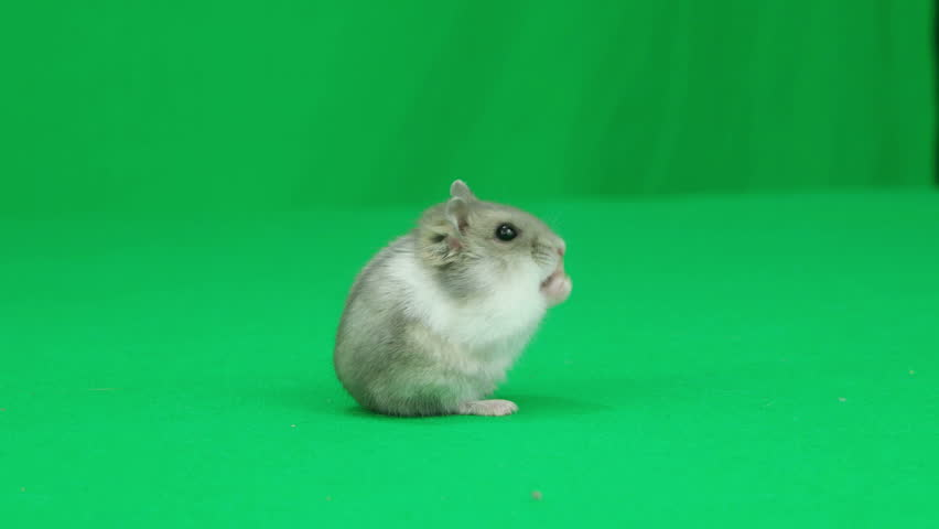 Hamster standing on the green screen - 4K stock video clip
