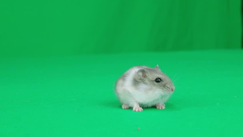 hamster walks on a green screen - 4K stock video clip
