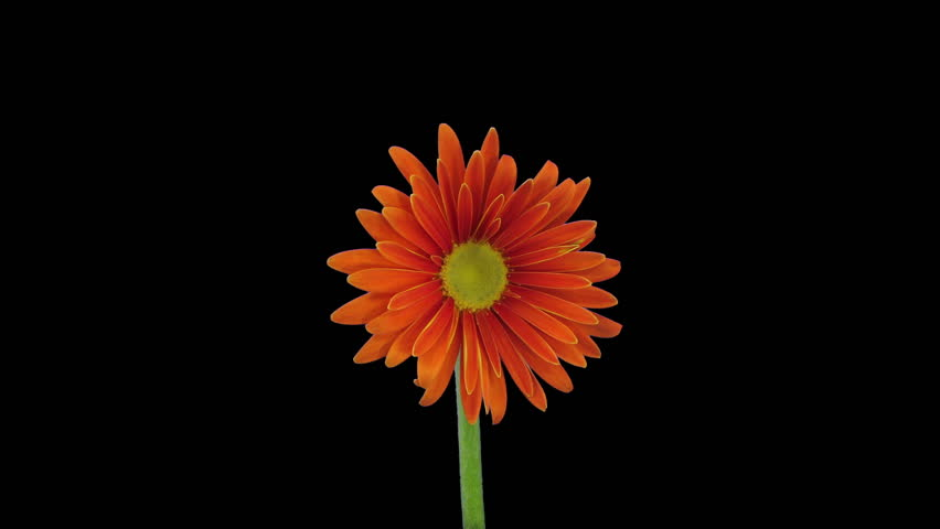 Time-lapse of growing and opening orange gerbera flower 4a3 in RGB + ALPHA matte format isolated on black background