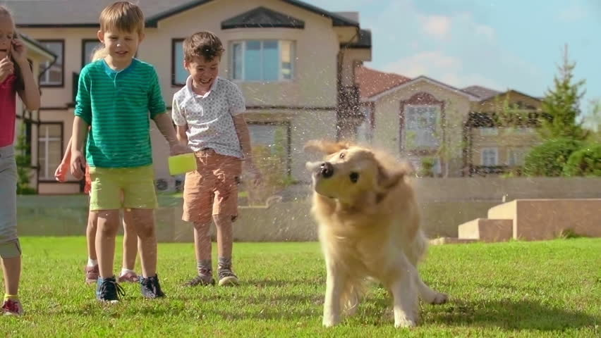 Cute golden retriever shaking off water on green lawn in slow motion; laughing little kids in the background - HD stock footage clip
