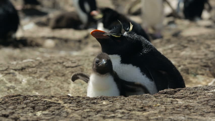 A Rockhopper penguin with chick in Falkland Islands - HD stock footage clip