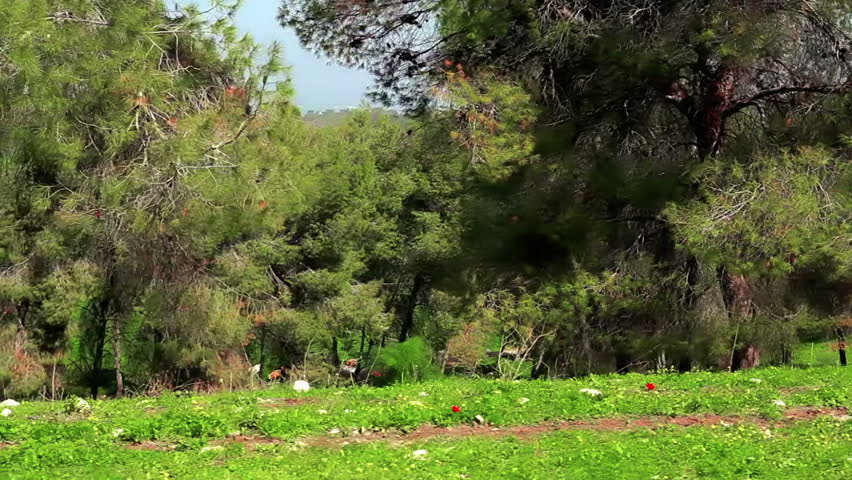 Drive-by of a forest, showing trees and very green foliage with mountains in the background.  There are red flowers in the green foliage alongside the road.  From the Mount Tabor region of Israel. - HD stock video clip