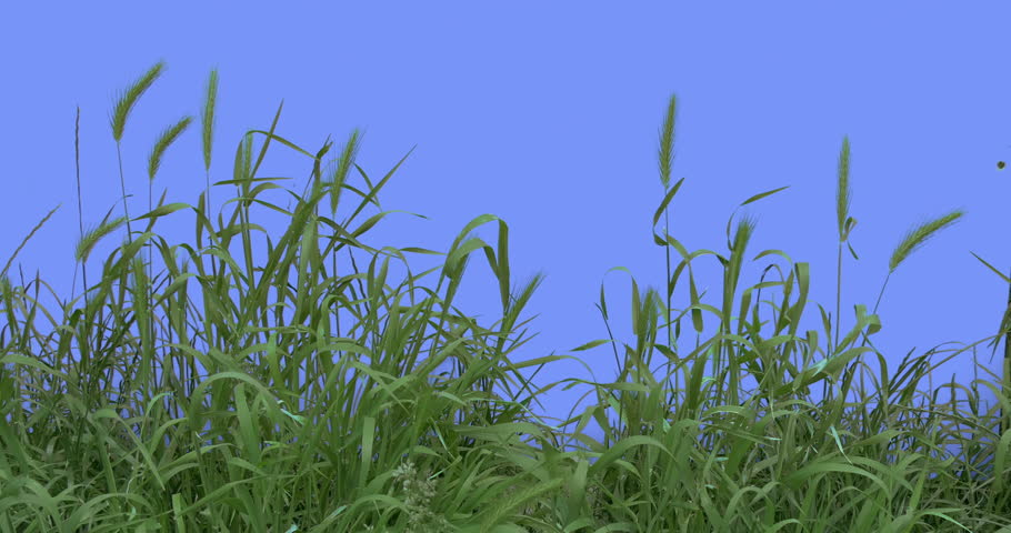 Ears, Spikes, Weeds With Its Green Leaves on a Chroma Key, Alpha, Red Screen, Young Stalks Grow Among Green Grass, Fresh Green Leaves Thin Branch is Fluttering at the Wind, Breeze in Sunny Summer of | Shutterstock HD Video #17038324