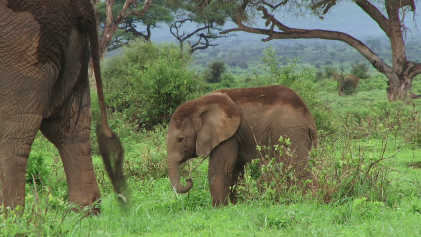 Baby elephant following mother. - HD stock video clip