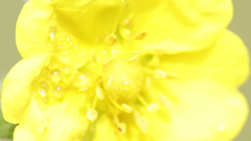 garden of italy yellow flower  and grass move by the wind in wild  - HD stock video clip