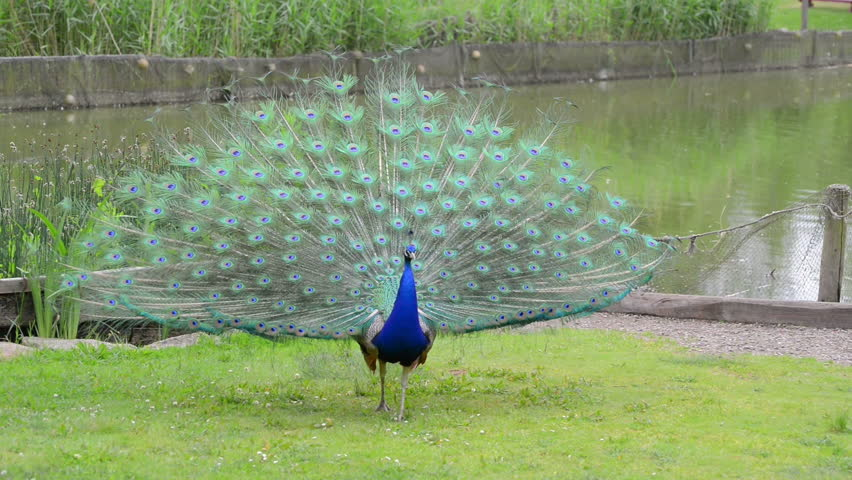 Peacock with feathers out - HD stock video clip