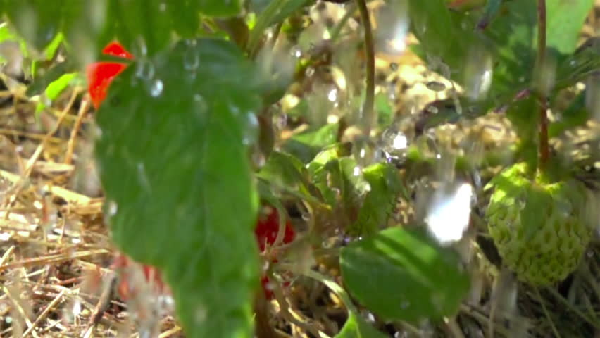 red strawberries and raindrops. slow motion. - HD stock footage clip