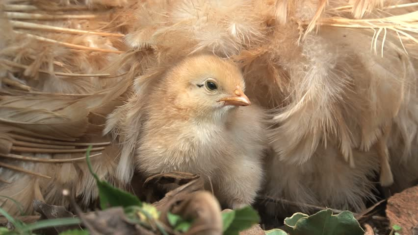 What are baby chickens called?