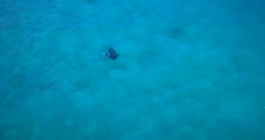King Manta Ray in St. Thomas, Virgin Islands - 4K stock footage clip