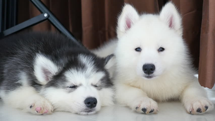 Two siberian husky puppies resting - 4K stock footage clip