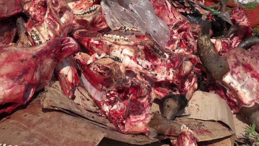 Horrible place, fresh dump of bones and skulls of dead cows - 4K stock video clip