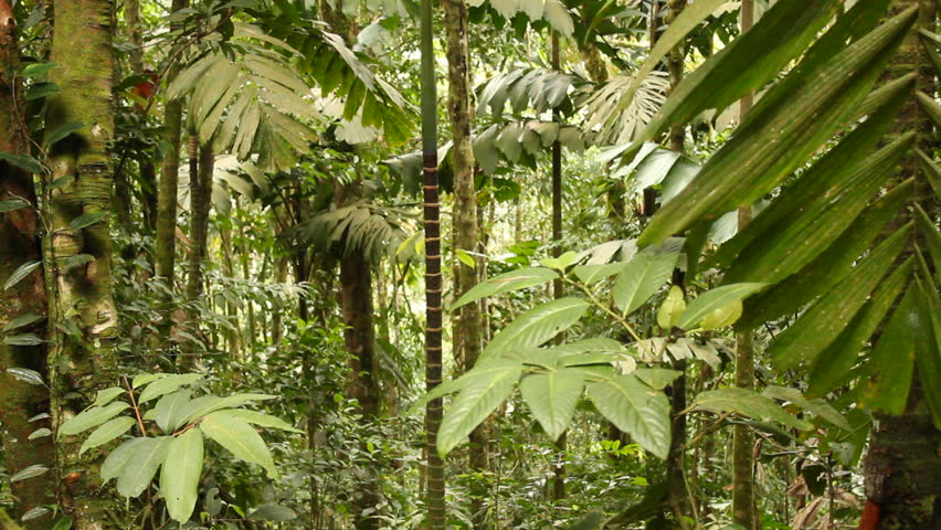 Interior of tropical rainforest. In rainforest in the Upper Amazon, Ecuador at 940m elevation. - HD stock footage clip