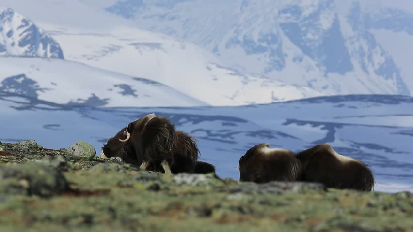 Windy scene form nature. Big animal from winter Norway. Musk Ox, Ovibos moschatus, with mountain and snow in the background, big animal in the nature habitat, Norway. Musk Ox in the mountain.
