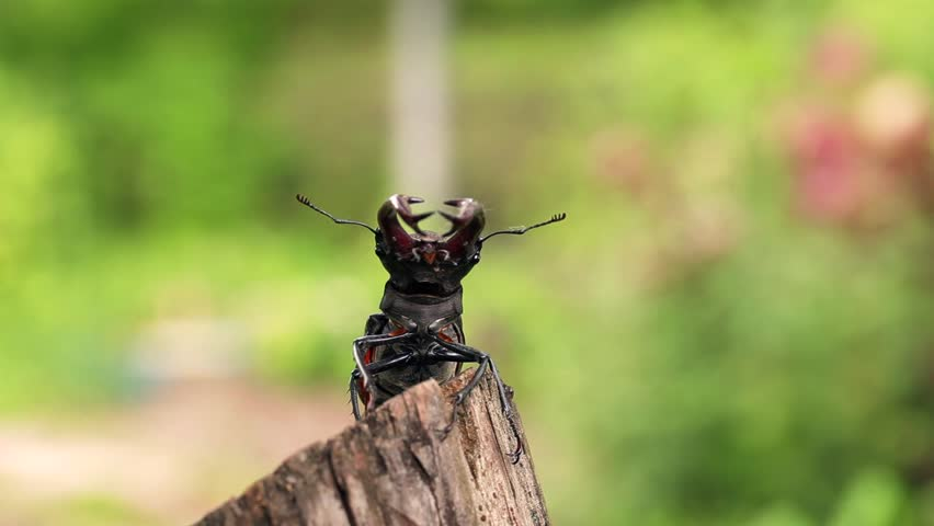 Stag beetle opens wings and flies off into the distance. #17402833