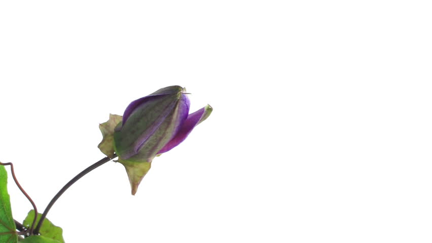 timelapse of single passion flower bloom opening and closing on white background, close