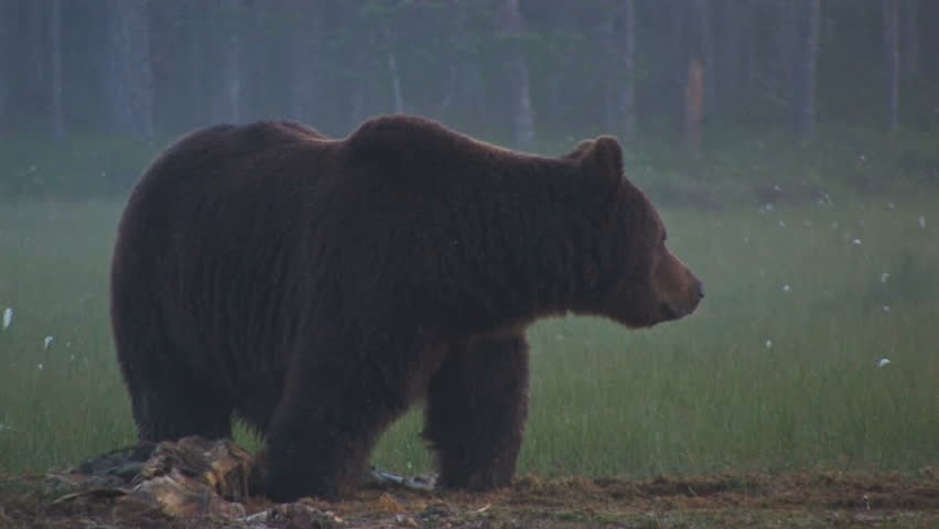 Brown Bear at night