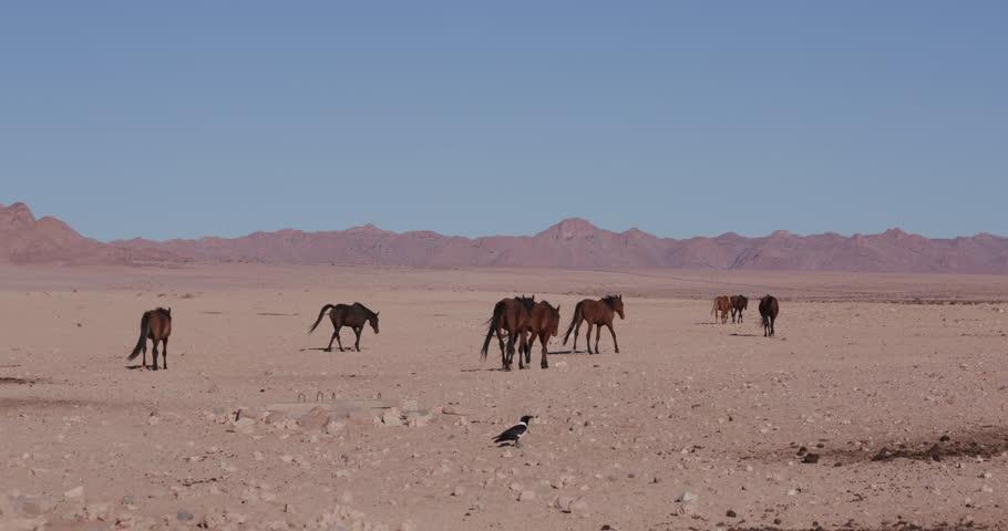 4K shot of a group of wild horses walking through the desert landscape - 4K stock video clip