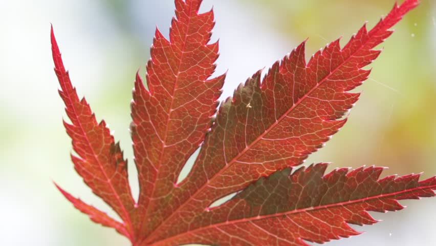 blur in italy red  leaf in the wind abstarct background and light   - HD stock video clip
