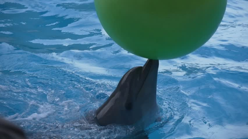 Dolphin plays a large green ball bearing it on its nose in the dolphinarium