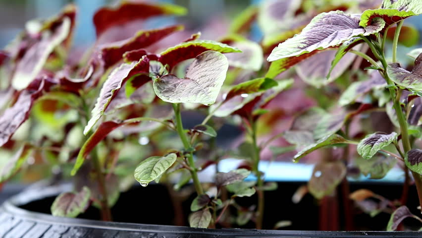 Fresh Red spinach or red amaranth in organic vegetable farm  - HD stock footage clip