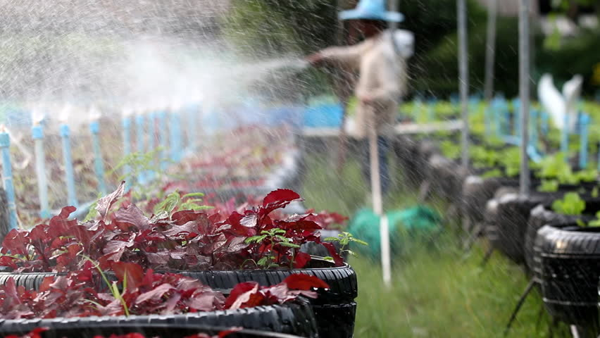 A man watering to amaranth vegetable in garden - HD stock video clip