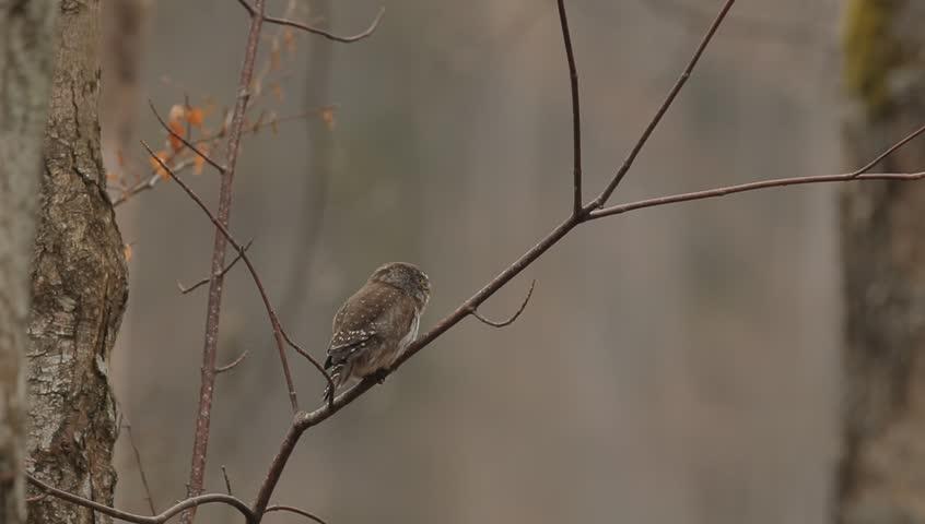 Eurasian Pygmy Owl, Glaucidium passerinum, sitting on the branch, bird in the nature forest habitat. Eurasian Pygmy Ow with typical sound. Eurasian Pygmy Owl in the nature. Eurasian Pygmy Owl.