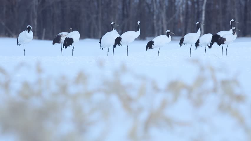 Birds in the snow. Red-crowned crane in Japan. Winter scene from Japan. Birds and snow during winter. Red-crowned crane, Grus japonensis, birds with snow storm, Hokkaido, Japan. Snow with forest.