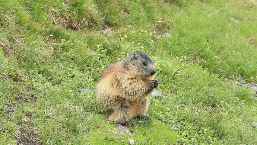 Beautiful animal Marmot, Marmota marmota, in the grass with nature rock mountain habitat, Alp, Austria. Mormot with grass mountain and grey clouds. Widlife scene from Alp. Cute animal.