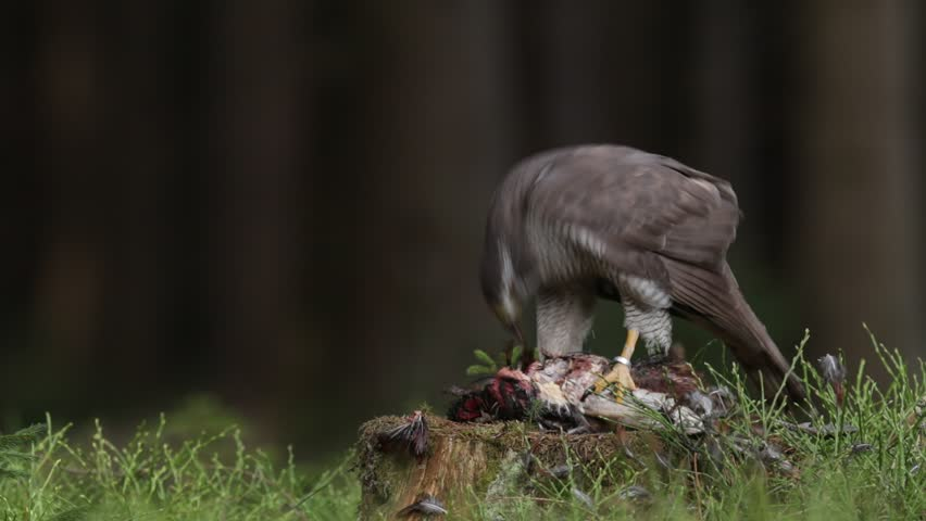 Goshawk kill Common Pheasant on the grass in green forest, bird of prey in the nature habitat, Norway. Goshawk in the forest with kill bird. Wildlife feeding scene from forest with birds of prey.
