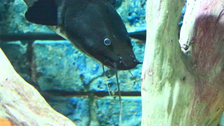 Naked catfish, Bagrid catfish