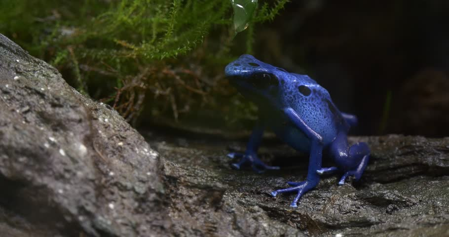 Blue Tree Frog Sitting in the Green Jungle, on the Gray Bark of a Tree. Frog Behind a Bright Green Moss. Latin Name Dendrobates Tinctorius   Shutterstock HD Video #17930521
