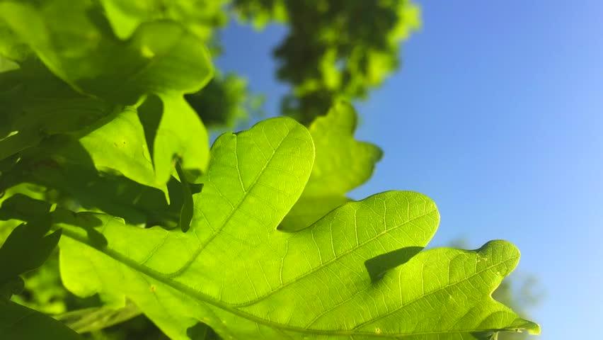 fresh oak leaf waves in wind
