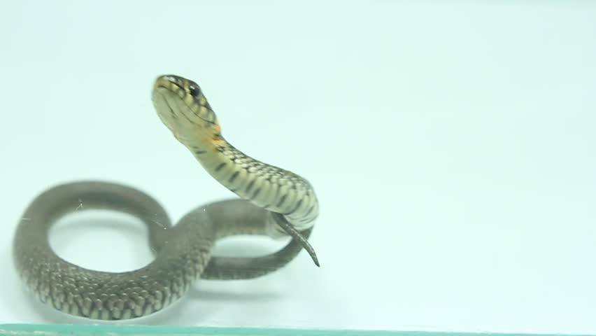 Grass snake (Natrix natrix) - HD stock footage clip