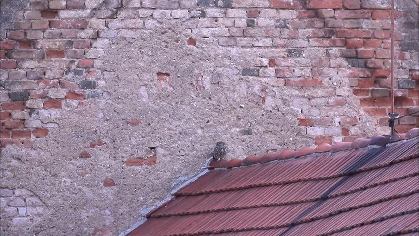 Little Owl, songbirds attack, Blackcap, Blackbird. Little owl in the urban habitat. Wildlife scene from nature. Bird action. Czech Republic