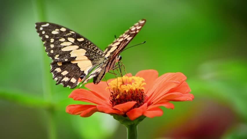Butterfly sucking nectar from flowers and pollination among wind blew gently in sunny day. ,  Cy benefit-sharing, Stock footage - HD stock footage clip