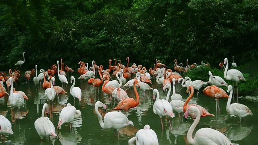 Flamingos   Shutterstock HD Video #18144109