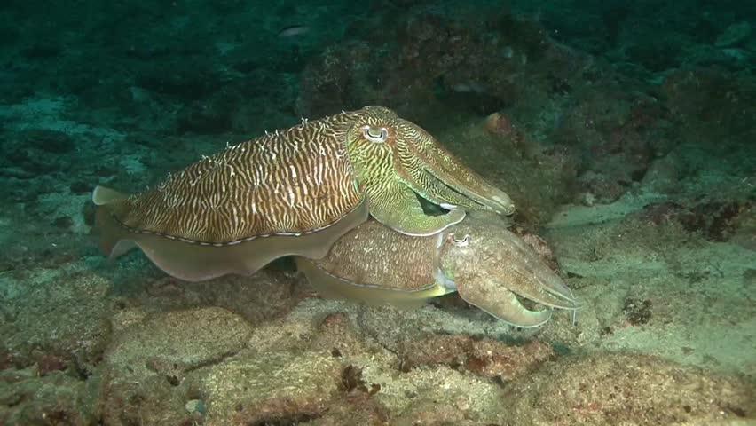 Oman, diving the Arabian sea, Cuttlefish - HD stock footage clip
