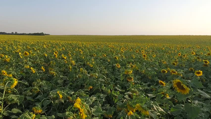 sunflower field picture blooming - photo #45