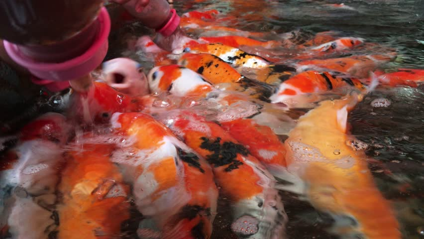Water pond teeming with a great many orange fish who are for What do koi fish eat