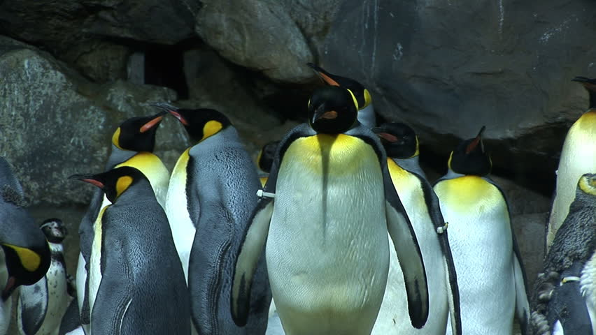 Penguins with yellow neck