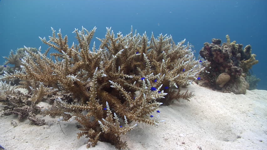 Header of Acropora subglabra
