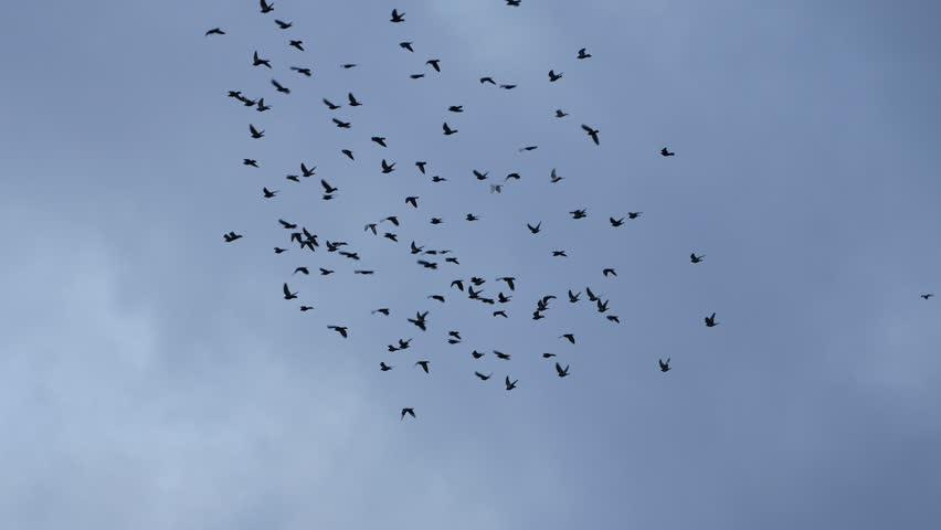 Flying flocks of Pigeons  | Shutterstock HD Video #18438382