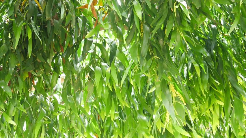 Header of Acacia Auriculiformis