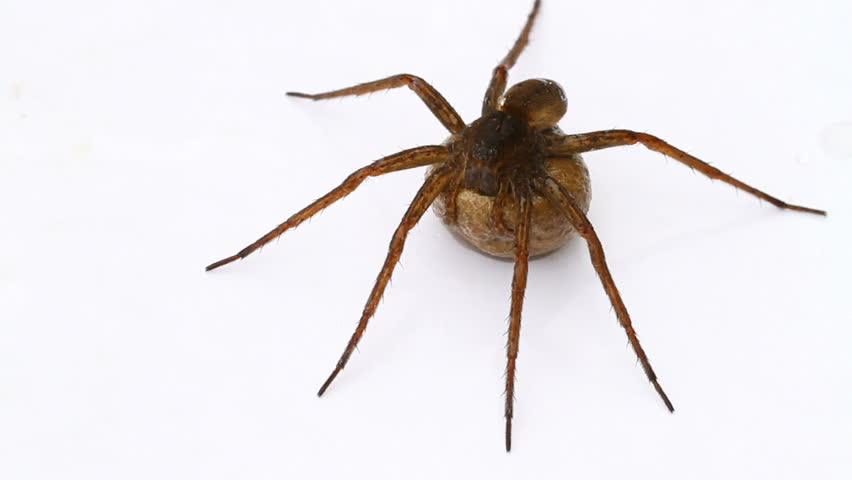 Fen Raft spider (Dolomedes plantarius) carrying an eggsac. - HD stock footage clip