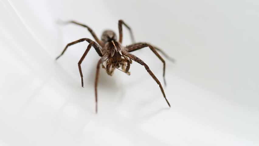 Pisaura mirabilis, the Nursery Web spider, family pisauridae, on a white background. The spider has its prey between its fangs. - HD stock video clip