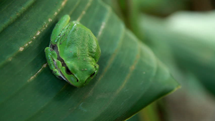 Frog on green sheet - HD stock footage clip
