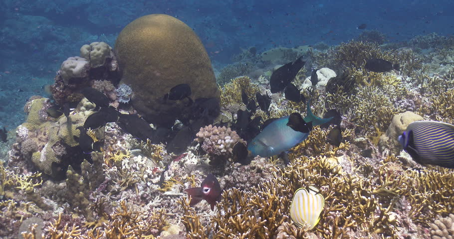 Header of Acanthurus blochii