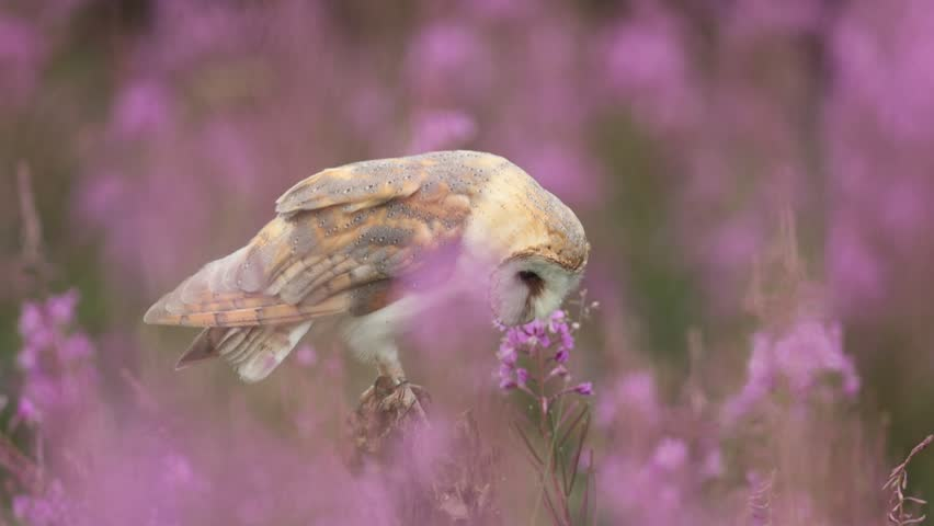Barn owl, Tito alba, sitting on tree branch with beautiful pink flower habitat. Owl animal in the nature habitat, Germany. Hunting owl in the pink bloom. Wildlife scene from nature, United Kingdom.