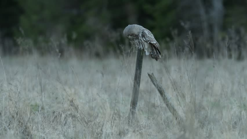 Great grey owl, Strix nebulosa, hunting in the nature, portrait with yellow eyes. Rare birds on the meadow from Sweden. Great grey owl in the wind forest. Great grey owl with grass in the summer.