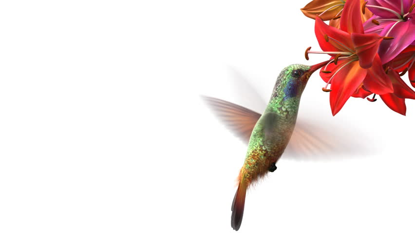 Humming bird, beautiful 3d animation #1939519